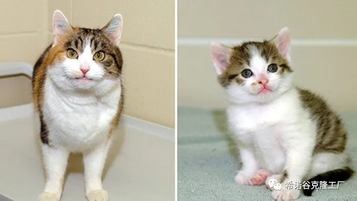 The world's first cloned cat-1.jpg