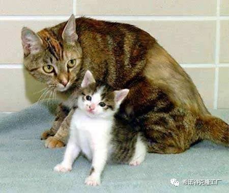 The world's first cloned cat-2.jpg